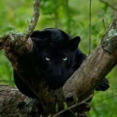 Neither of us would blink, him since he had a kill nearby and would not tolerate any intrusion, and us because we were so mesmerised by this fabled beast. Black Panther Cat, Black Panther Tattoo, Big Cats, Cool Cats, Cats And Kittens, Beautiful Cats, Animals Beautiful, Panther Pictures, Fierce Animals