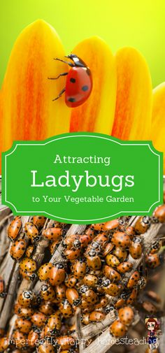 Attracting Ladybugs to Your Vegetable Garden - they'll give you a happier, healthier garden with less pests (like aphids and white flies).