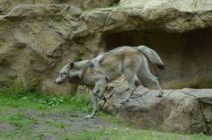 Timber Wolf                                                   by Lakela
