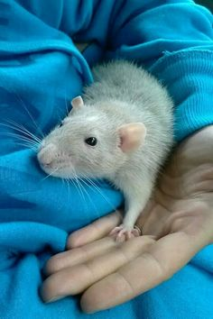 I love when rats hold your hand with theirs.