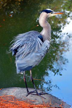 Great blue heron shakes out its feathers on the edge of a Hilton Head Island lagoon, South Carolina