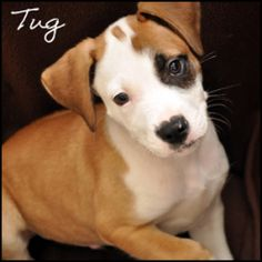 Tug Boat is an adoptable Terrier Dog in Birmingham, AL.  Primary Color: Tan Secondary Color: White Weight: 5.0 Age: 0yrs 2mths 1wks  Animal has been Neutered...