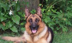 German Shepherd Dog Breeders Michigan German Shepherd Kennels