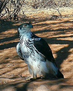 """0 Likes, 1 Comments - Riebelton Safaris (@riebelton_safaris) on Instagram: """"African Hawk Eagle exhibiting it's beautifully contrasting chest plumage... #africanhawkeagle…"""""""