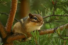 Chipmunk in a pine tree © Shane Holsclaw