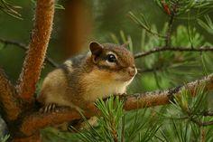 Chipmunk in a pine tree © Shane Holsclaw