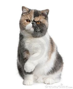 Photos of shorthair exotic cats. Exotic shorthair cats are actually a persian breed with a short . Exotic Cat Breeds, Fluffy Cat Breeds, Exotic Cats, Chats Devon Rex, Devon Rex Cats, Cute Kittens, Chartreux Cat, Cat Allergies, Cat Species