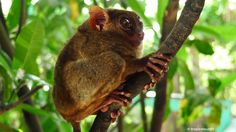 The Philippine Tarsier and it's habitat is only in Bohol. Cute Wild Animals, Bohol, Cute Animal Photos, Habitats, Philippines, Cute Animal Pictures