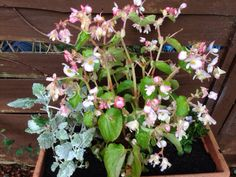 Begonia (begonia hybrid): This is probably the begonia known as Dragon Wing, although there are a lot of forms and cultivars. Excellent house plant or as a summer annual. Dragon Wing, Begonia, House Plants, Wings, This Or That Questions, Garden, Summer, Garten, Summer Time