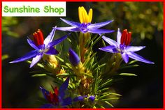 20 seeds/pack Blue Tinsel Lily Seeds flower seed Bonsai Flowers hot sale For Garden Home by SunshinebyDung on Etsy
