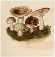 - The Graphics Fairy Vintage Artwork, Vintage Images, Vintage Prints, Mushroom Images, Mushroom Pictures, Colorful Drawings, Cool Drawings, Red And White Mushroom, Colossal Art