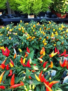 I love to eat spicy food, so chili plants is a must
