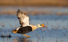 2015 Audubon Photography Awards Top 100   Audubon, King Eider