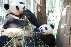 Mr. Wu wants mom's bamboo | Flickr - Photo Sharing!