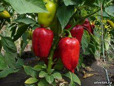 Агротехника сладкого перца во многом схожа с приемами возделывания томатов, однако есть в ней некоторые тонкости. Во-первых, перец более требователен к влажности и плодородию почвы. Во-вторых, плоды перца можно есть …