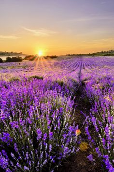 Lavender Field in France Art Print on Canvas East Urban Home Size: H x W Nature Iphone Wallpaper, Iphone 6 Plus Wallpaper, Scenery Wallpaper, Wallpaper App, Iphone Backgrounds, Wallpaper Ideas, Beautiful Flowers, Beautiful Places, Beautiful Pictures