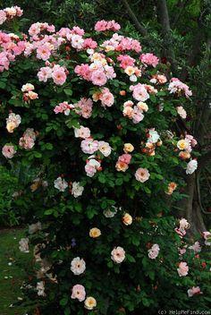 'Clair Matin' Rose Photo