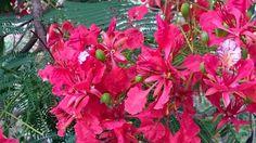 A árvore colorida do verão é o Flamboyant | Jardim de Helena