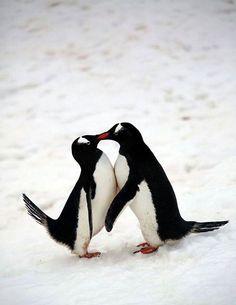 Pingüinos besuqueandose