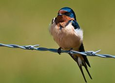 Barn Swallow, another species I've rehabbed a number of.