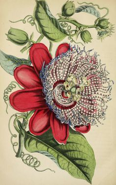 Passion Flower. Passiflora x decaisneana. Large, 4-5 inch flowers followed by orange, edible fruit. Vines are vigorous. Often confused with P. quadrangularis. Pages from Deutsches Magazin für Garten- und Blumenkunde. (1854) | From the botanical illustration collection of Swallowtail Garden Seeds. This image is in the public domain. Right click to download. Use as you choose.