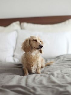 [Matzah the smiling doxie] photo by Justin Chung | love long haired english creams