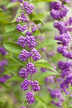 These fast-growing shrubs look beautiful in every season, with lilac-like flowers in spring and bright purple berries that last into winter.