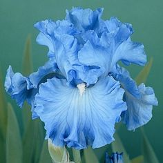 Bearded Iris Delta Blues, Iris germanica – Bearded Iris from American Meadows