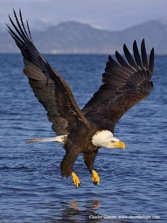 Bald Eagle, in Flight, Alaska. [we saw dozens on the Coast between Anchorage & Seward.] Inspiring