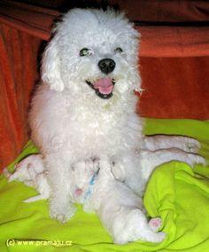 Cindy 12/2011b - Bichon Bolognese / Boloňský psík Bichon Bolognese, Dog Lady, Little Dogs, Animals, Pet Dogs, Little Puppies, Animales, Animaux, Animal
