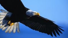 magnificent eagle wallpapers