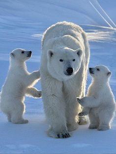 ours polaire, une femelle avec deux oursons
