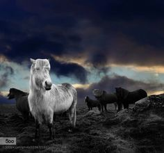 Horses by estergisladottir