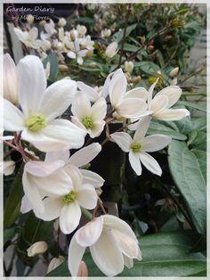 Armandii comineza a florecer ... Sweet fragancia .