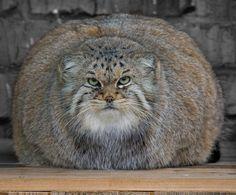 Manul / Pallas's cat (Otocolobus manul)
