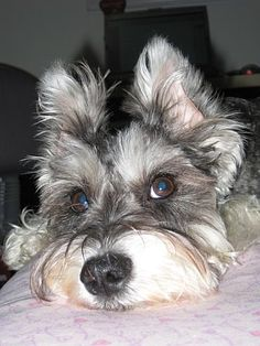 Maggie, our schnauzer #3 and the one who plays loving companion to me now when it suits her, looks a lot like this picture.  Even though her papers claim she's black, she grew up through a charcoal phase and now looks like a mix between salt and pepper and silver.