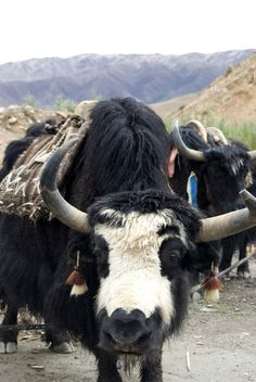 Yak in Tibet | THE MOSAIC FINGERPRINT