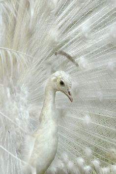 Beautiful white peacock Peacock Symbolism~ Reflections of a Living Myth
