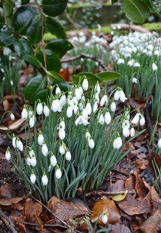 Snowdrop growing tips from head gardener, Juan Quane, of the Milntown Gardens