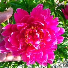 Get essential tips for growing peonies, from how to plant and transport to preventing disease.
