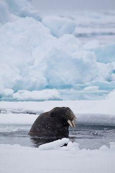 burning-soul:  Walrus