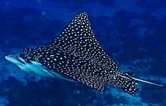 Swim with a Spotted Eagle Ray