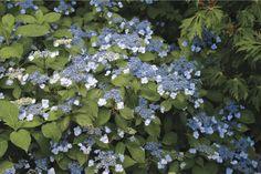 Blue Billow Hydrangea from White Flower Farm | Gardenista