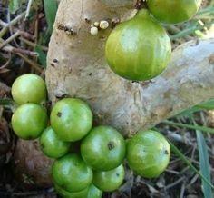Nome científico : Myrciaria aureana Floresta atlântica de baixada A fruta é consumida principalmente ao natural, podendo também ter o mesmo emprego que as demais espécies de jabuticaba. Jabuticabeira de porte pequeno de 2 a 3 metros de altura quando adultas, folhas grandes de 6 a 12 cm de comprimento e duras, tem bom valor para paisagismo de pequenos espaços. Frutos de 2 a 3 cm, subglobosos e ligeiramente acuminados, costados, de coloração verde mesmo quando inteiramente maduros. Polpa doce…