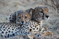 Family Bond - Cheetah and Cub enjoying the cool evening weather