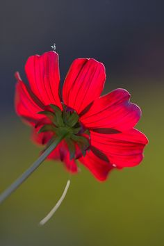 ~~Can Dreams Come True? ~ Red Cosmos by johnshlau~~