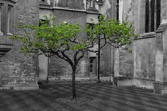 This tree that @themarco took a picture of back in 2007 in Cambridge is a direct descendent of the Sir Isaac Newton Tree.