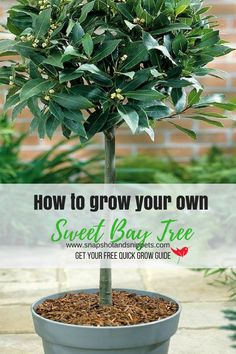 How to grow your own Bay tree - with free grow guide. Snapshots and Snippets #gardening #garden #herbgarden