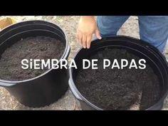 Como sembrar papas- HuertoLatino.com - YouTube Potato Gardening, Gardening Tips, Backyard Plants, Backyard Landscaping, Small Gardens, Outdoor Gardens, Wall Plant Pot, Potato Barrel, Patio Signs