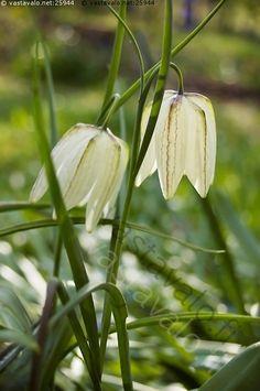 valkoinen kirjava pikarililja - kirjava  valkoinen pikarililja fritillaria meleagris lilja viherpeukalo pikari puutarha piha puisto kukkapenkki puutarhanhoito